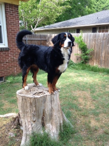 Tesla on Stump